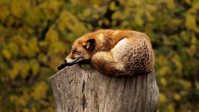 Sleeping Fox Chromebook Wallpaper ...