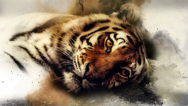 Sleepy Tiger Google Background