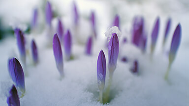 Snowy Flower Buds Google Background