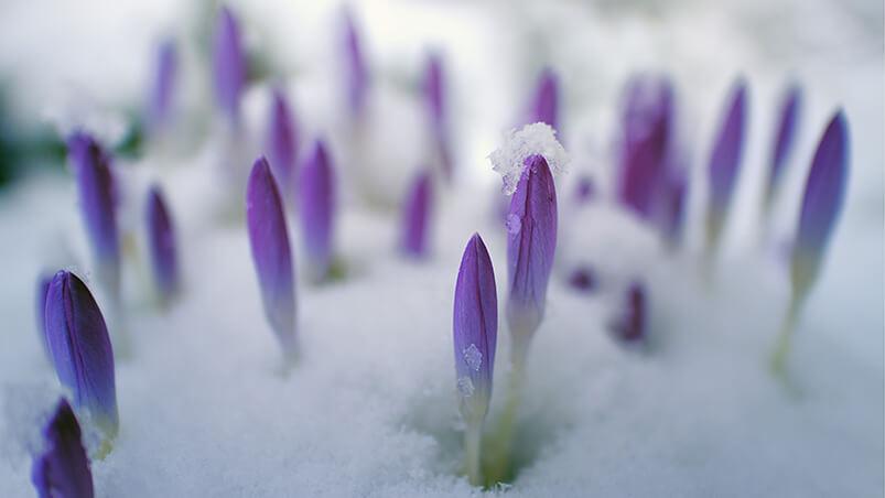 Snowy Flower Buds Google Background ...