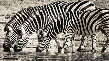 Thirsty Zebras Google Background