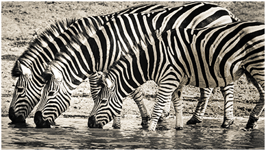 Thirsty Zebras ChromeBook Wallpaper