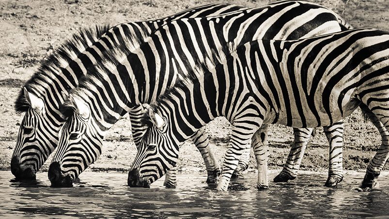 Thirsty Zebras Chromebook Wallpaper ...