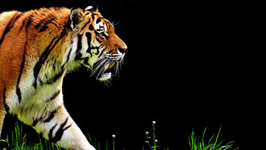 Walking Tiger Chromebook Wallpaper