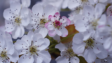 White Flower Blossoms Google Background