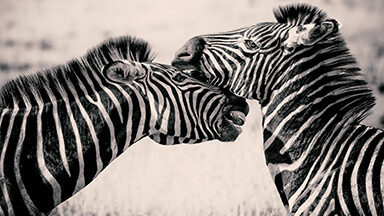 Zebras Chromebook Wallpaper