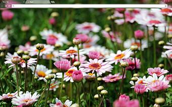 Marguerite Flowers Google Chrome Theme