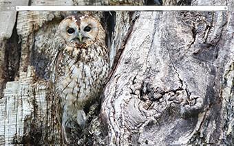 Owl Google Chrome Theme