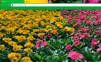 Pink and Yellow Daisy Flowers Google Chrome Theme