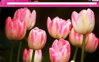 Pink Tulips Google Chrome Theme