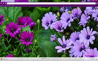 Purple Daisies Google Chrome Theme