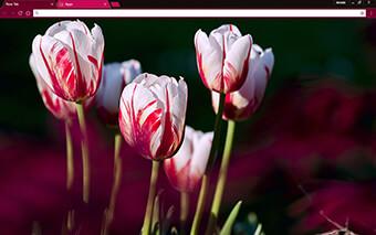 Rose Tulips Google Chrome Theme