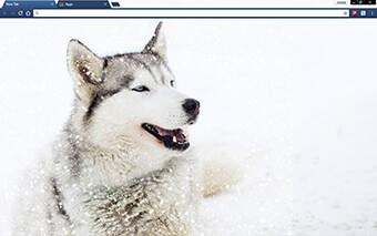 Siberian Husky Dog Google Chrome Theme