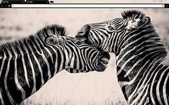 Zebras Google Chrome Theme