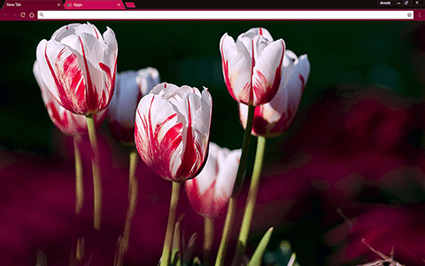 Rose Tulips Google Chrome Theme