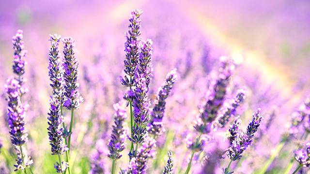 Lavender Blossoms - 4K Wallpaper