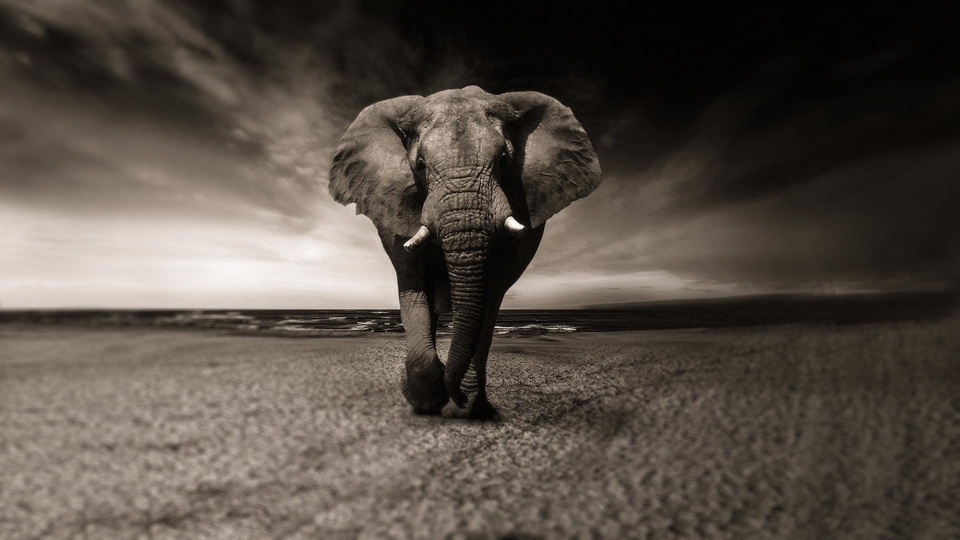 8k Animal Wallpaper Download: African Elephant 4K Chromebook Wallpaper