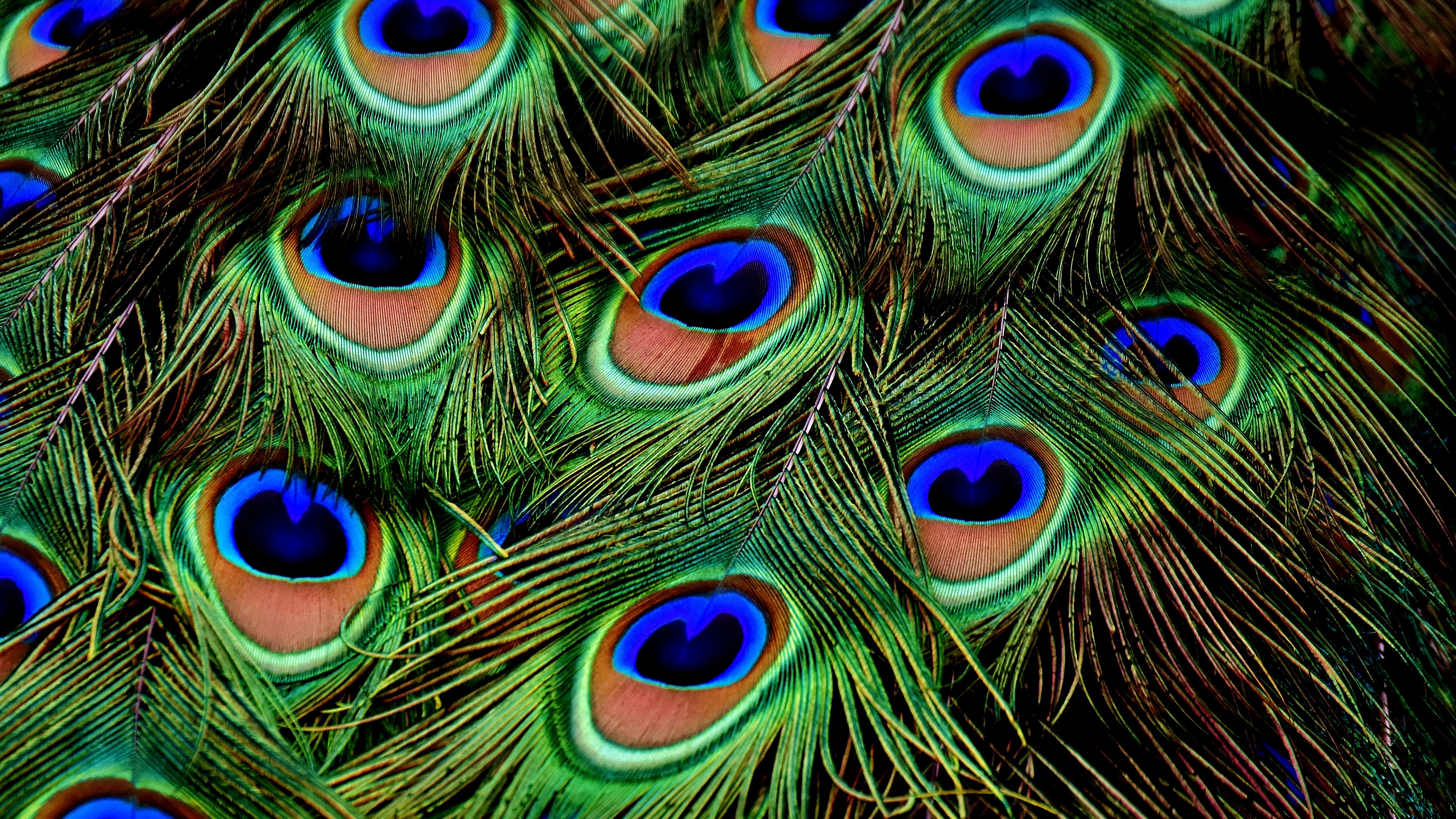 Peacock Feathers Chromebook Wallpaper For Download