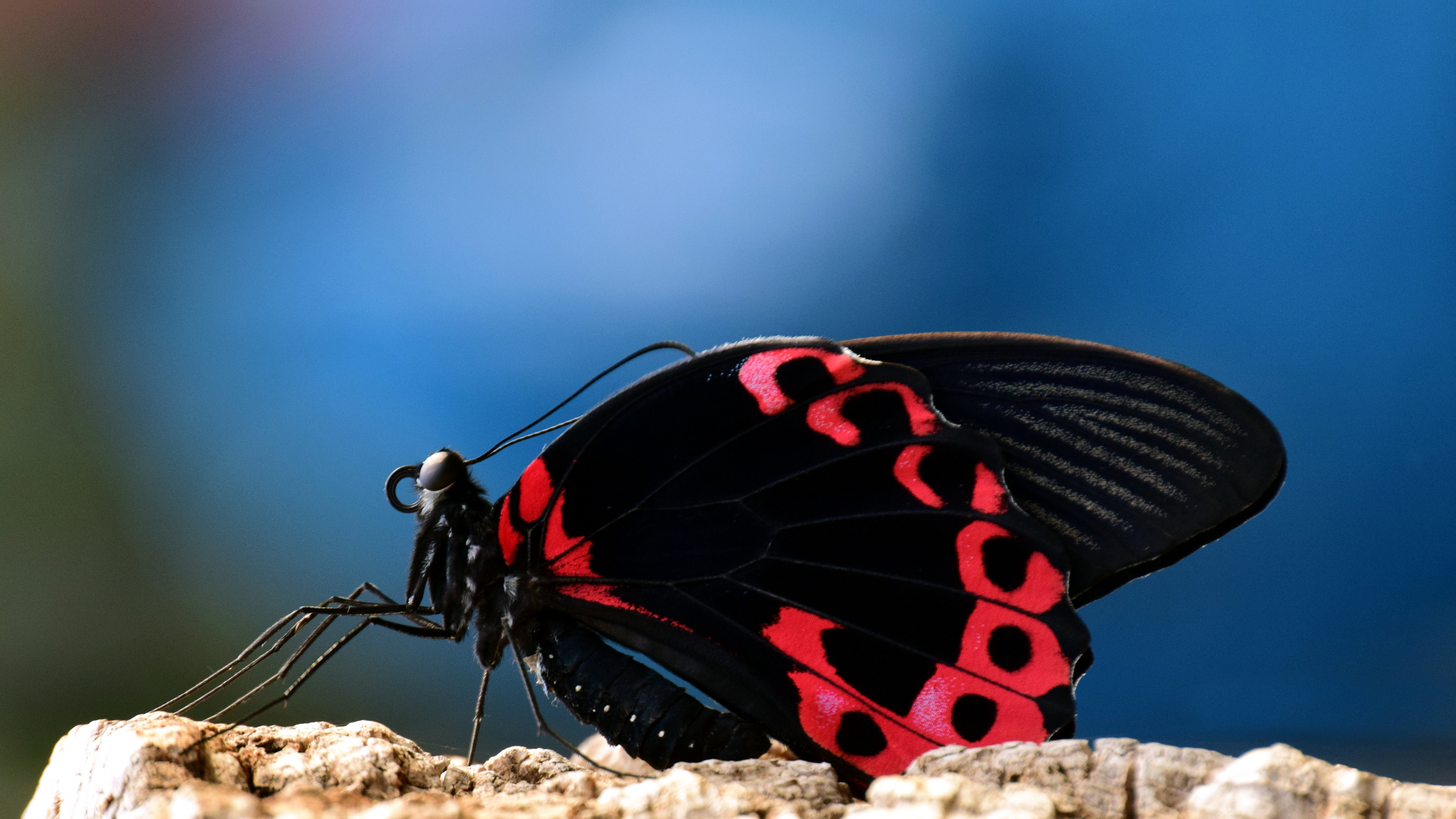 Sitting Butterfly Chromebook Wallpaper