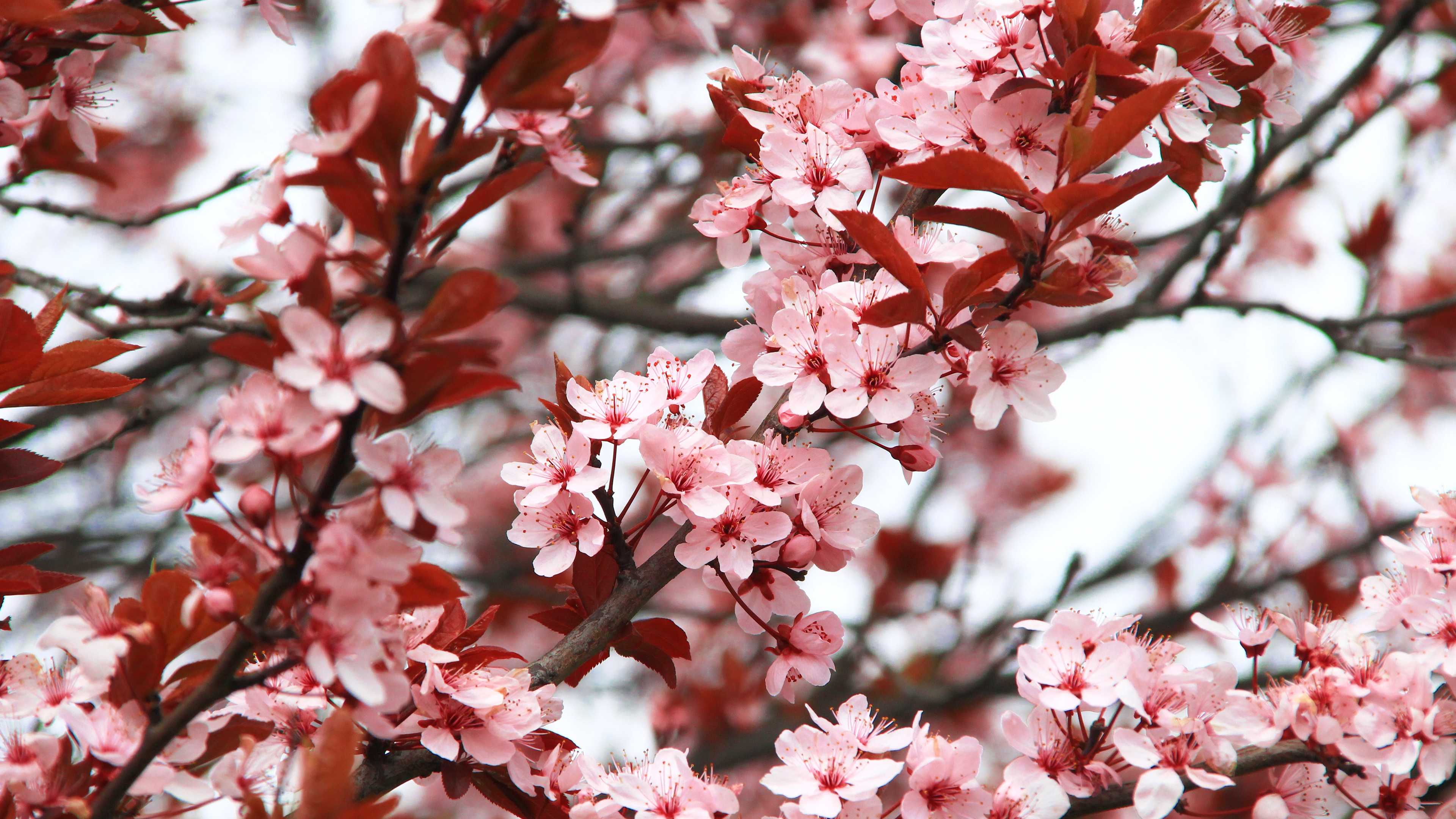 Spring Blossoms Chromebook Wallpaper