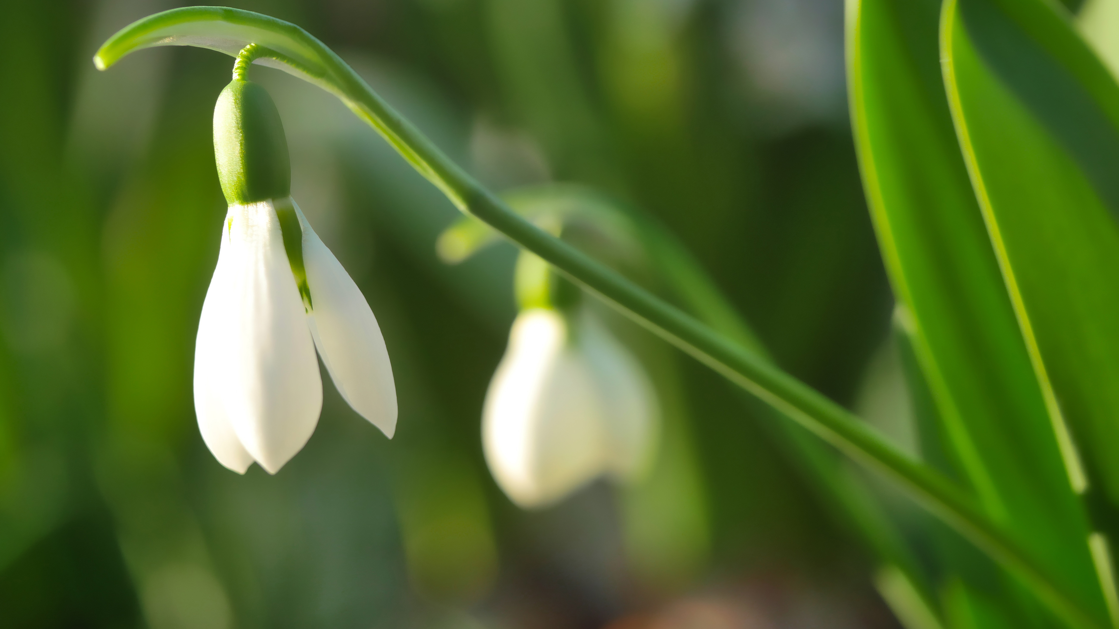Free White Bell Flowers Chromebook Wallpaper Ready For Download